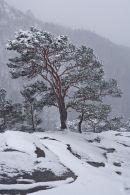 Pine in snow storm