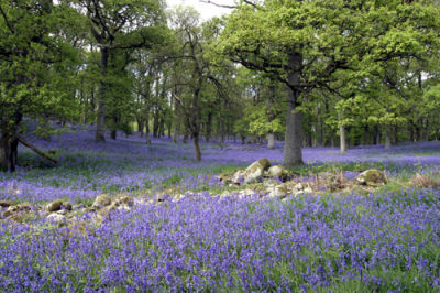 Bluebells and Oaks