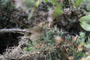 Grasshopper Warbler.