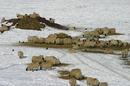 Sheep feeding in the snow