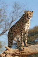 CCF cheetah in Namibia
