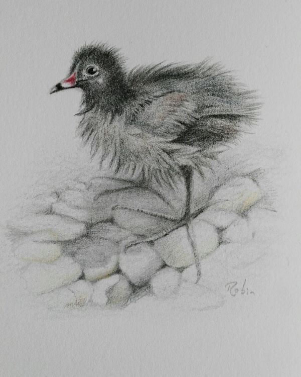 Moorhen Chick on the River Slea. SOLD.