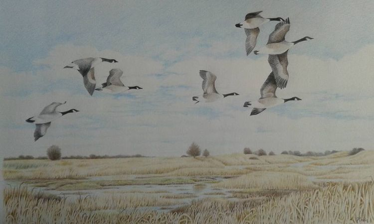 Fly Past - Canada Geese over Gibraltar Point