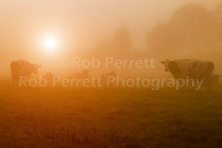 A Bovine Misty Dawn