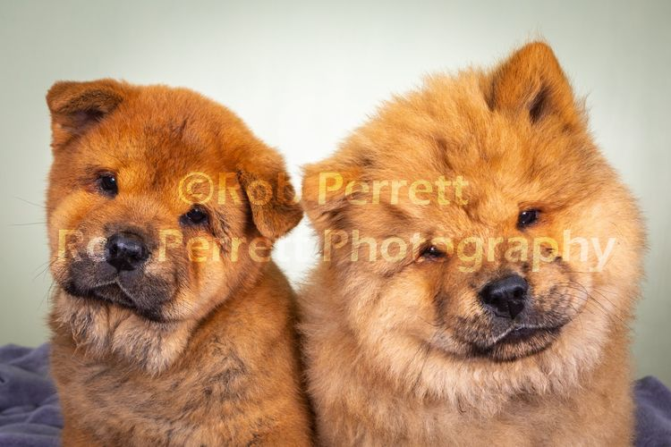 2 Chows