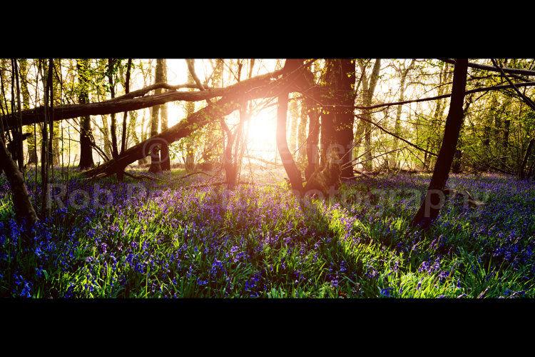 Sunrise Through A Misty Bluebell Wood