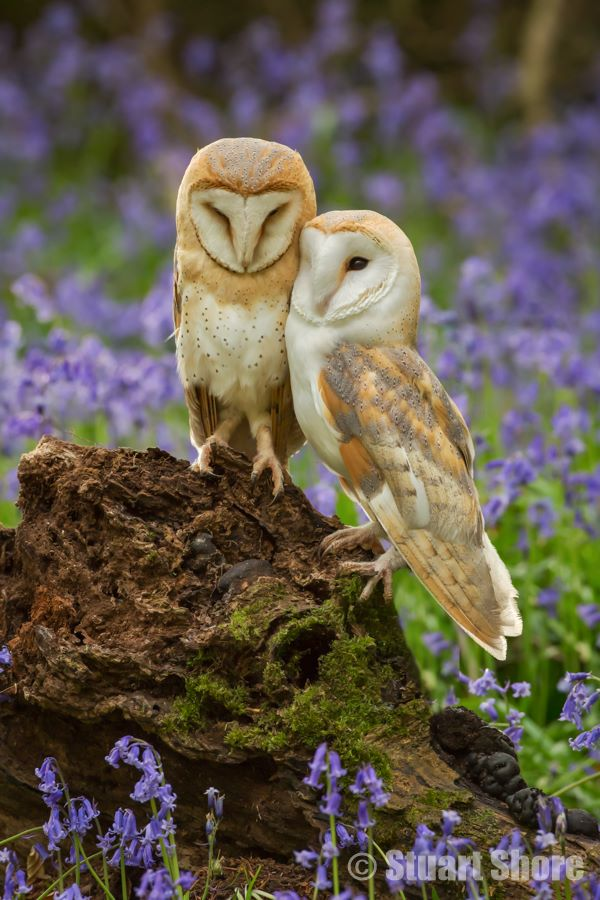 A Pair of Barn Owls Amongst the Bluebells