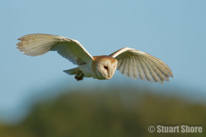 Barn Owl in Flight, Brading