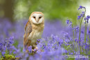 Barn Owl in the Bluebells