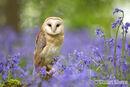 Barn Owl in the Bluebells