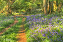 Bluebells at Borthwood
