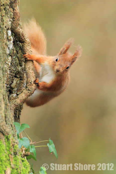 Climbing, Red Squirrel