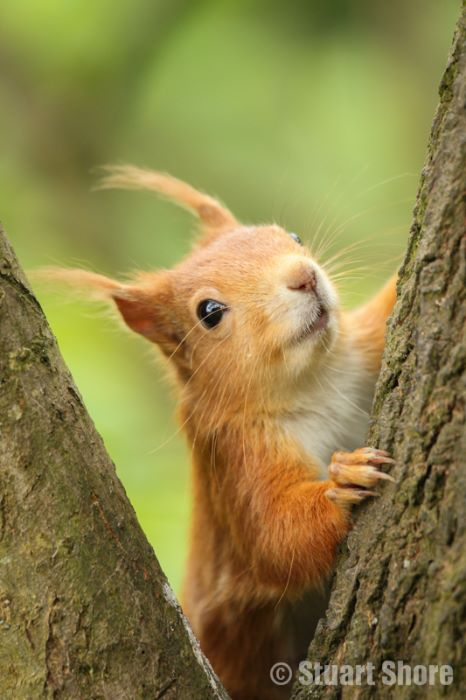 Red Squirrel Between the Branches