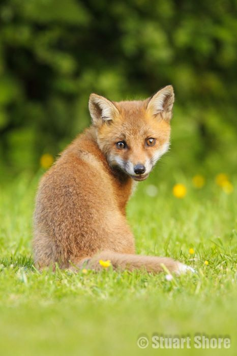 Red Fox Cub Portrait