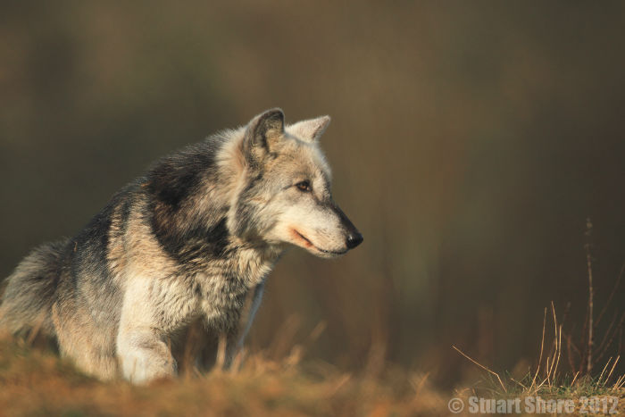'Mai' Female North American Wolf, UKWCT