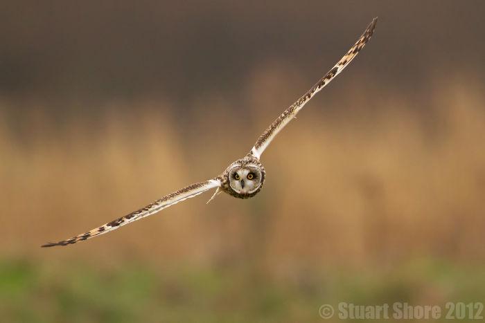 'Gliding' Short Eared Owl