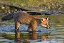 Making a Splash, Red Fox