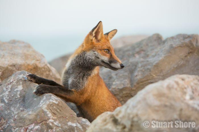 Red Fox amongst the Rocks