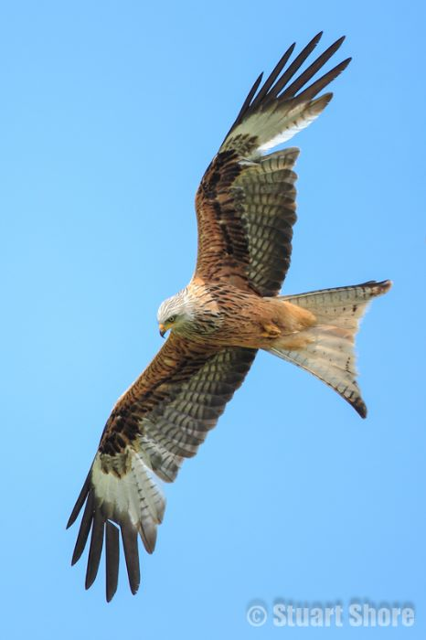Red Kite, Wales