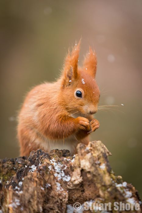 'Snow Flakes' Red Squirrel