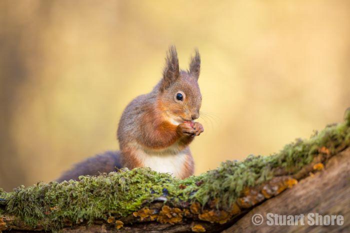 'Springtime' Red Squirrel