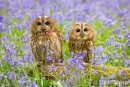 Tawny Owls Amongst the Bluebells