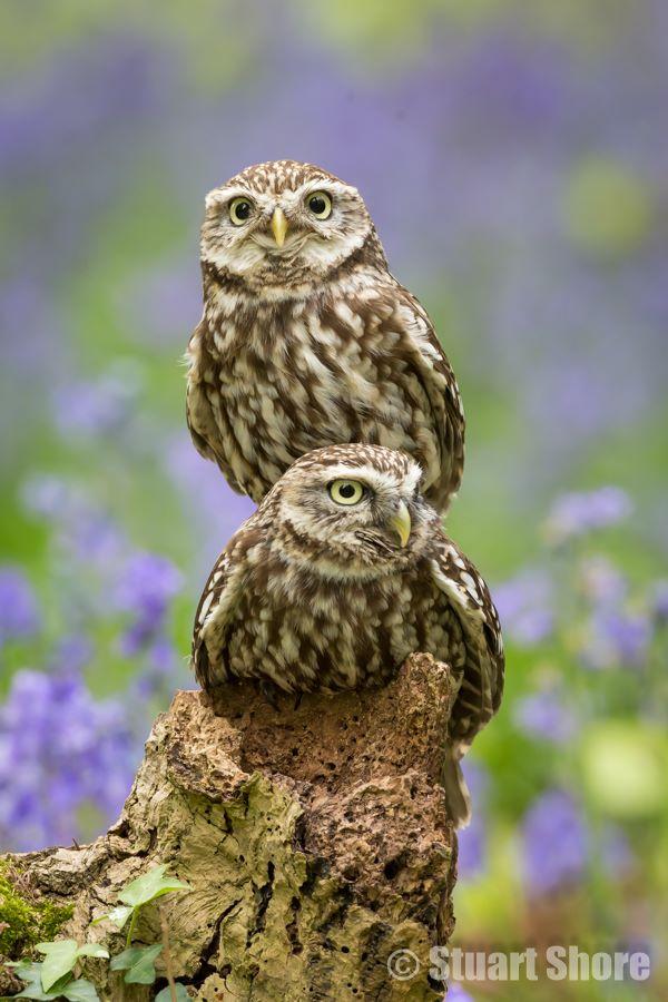 'Two Little Owls'