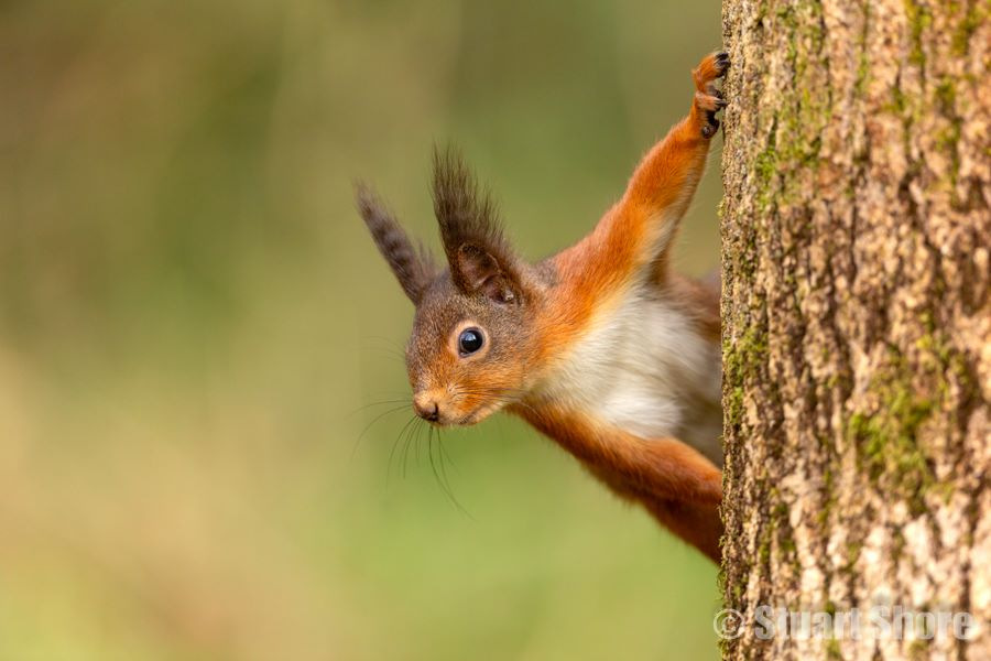 'The Lookout' Red Squirrel