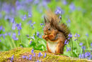 Red Squirrel in the Bluebell Woods