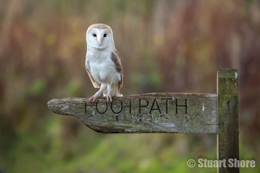 Barn Owl on a Footpath