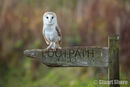 Barn Owl on a Footpath