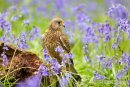 Kestrel amongst the Bluebells