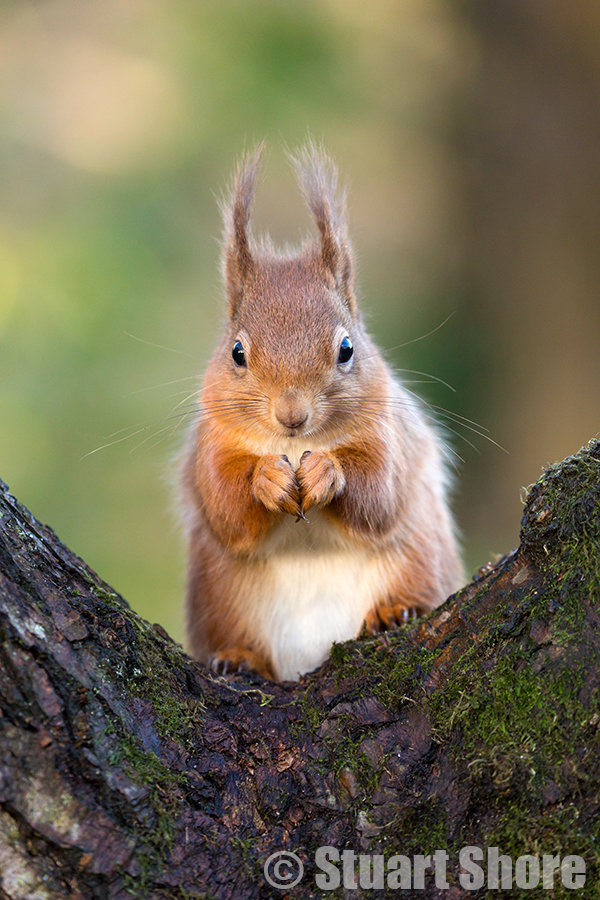 The Cute Red Squirrel
