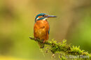 Kingfisher on a Mossy Branch