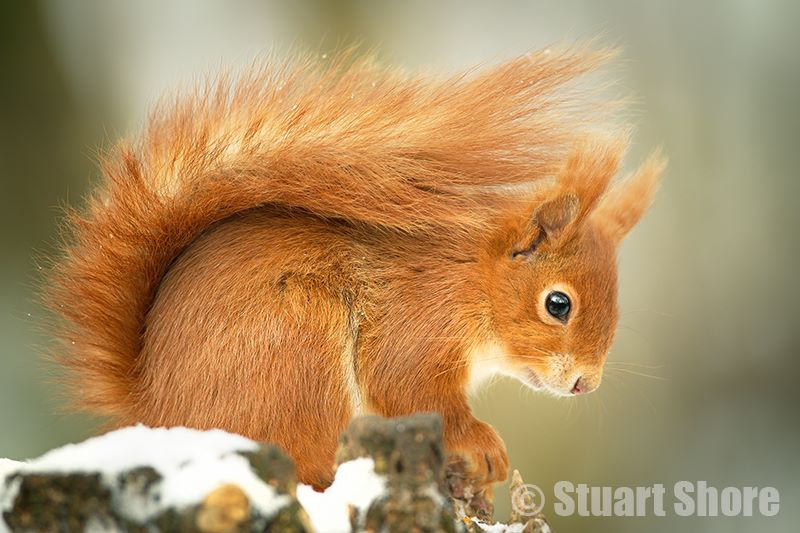 The Winter Red Squirrel