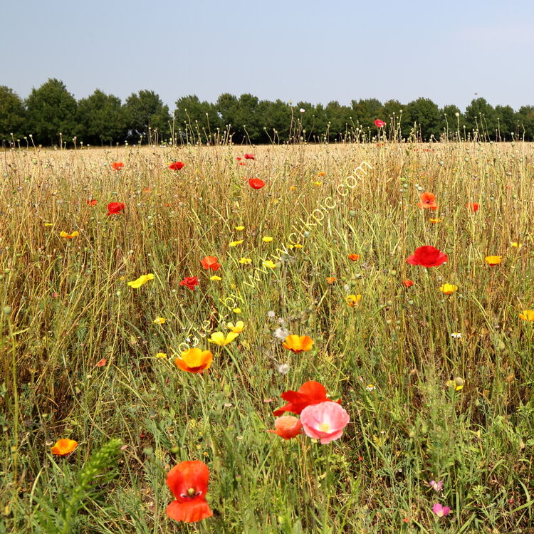 Poppies and wild flowers in corn meadow at Breezy Knees Gardens near York