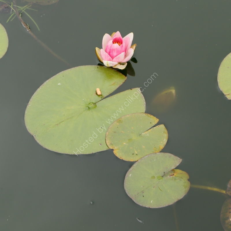 Water-lily at Castle Howard