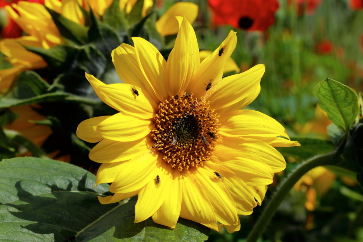 Sunflower at Harlow Carr Gardens, Harrogate