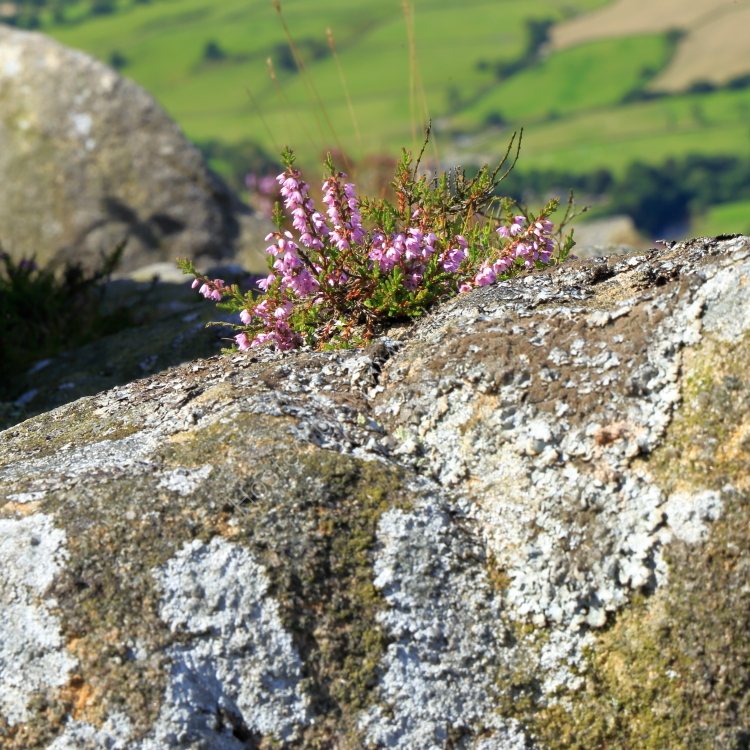 Heather growing on a boulder on Beamsley Beacon