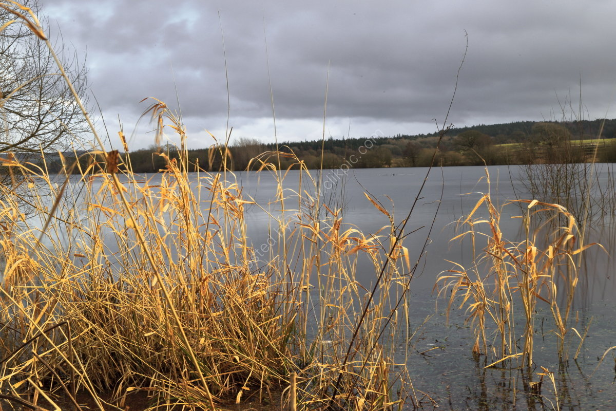 Dead grasses at Fewston Reservoir in winter