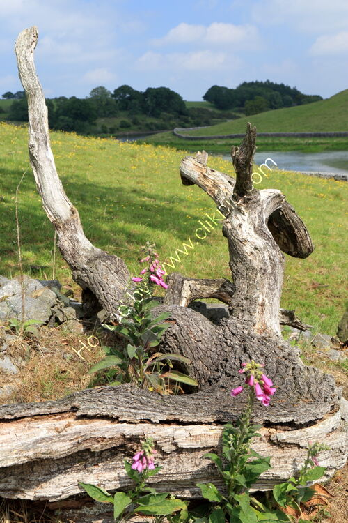 Foxglove and dead tree at John o'Gaunt's Reservoir