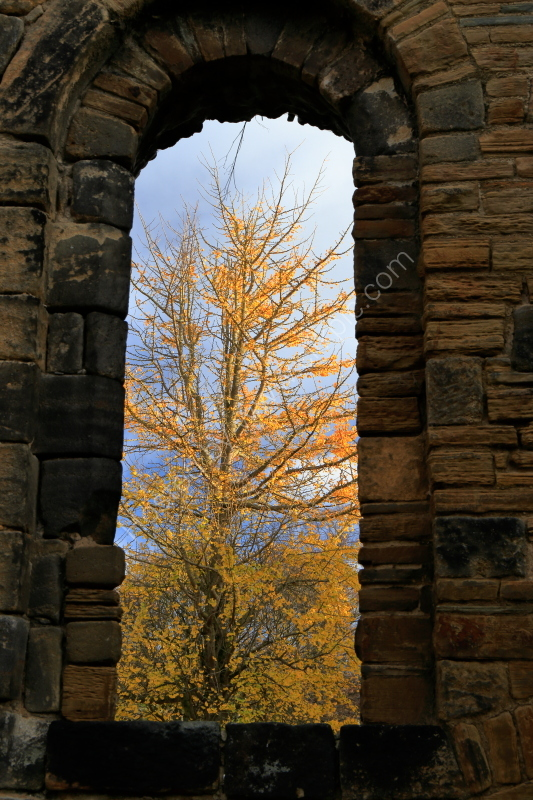 Ginkgo Biloba tree through window at Kirkstall Abbey, autumn