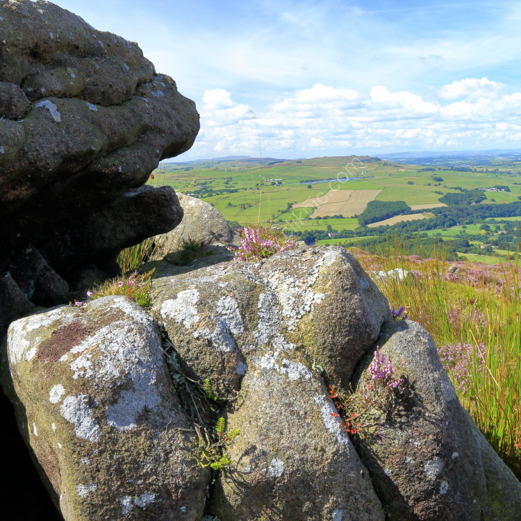 Heather growing on rocks at Beamsley Beacon with view over Wharfedale