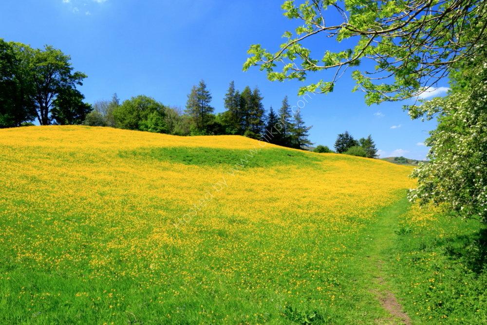 Wildflower meadow near Hawes, Wensleydale