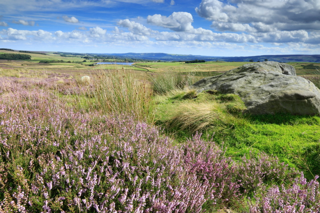 Heather, rocks, and reeds on Foldshaw Ridge, Middleton Moor