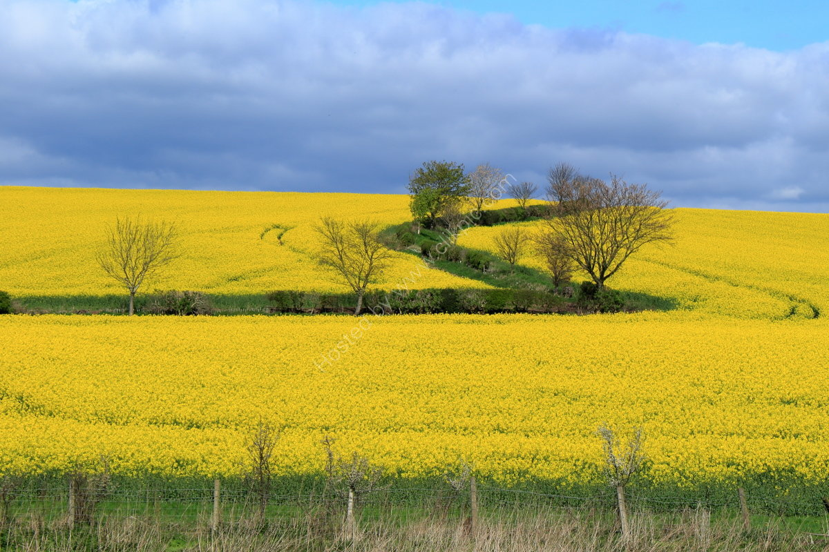 Field of rape near Burton Leonard, Yorkshire, with the Robert Beck running through