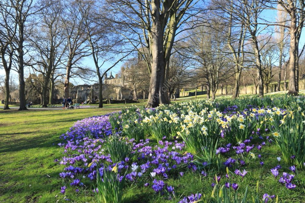 Kirkstall Abbey with daffodils and crocuses