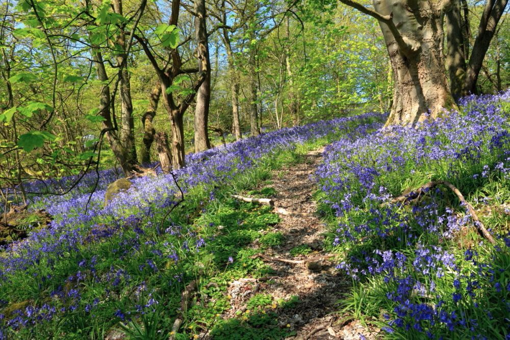 Bluebells in Middleton Woods, Ilkley