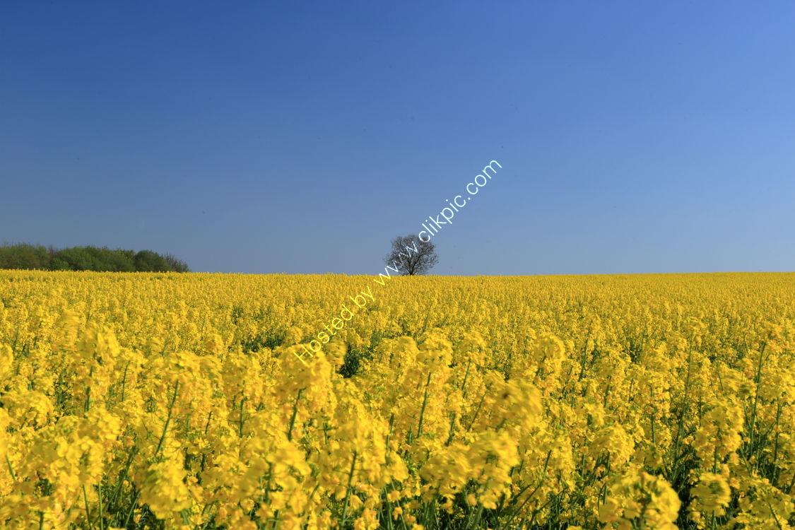 Field of oilseed rape near Towton