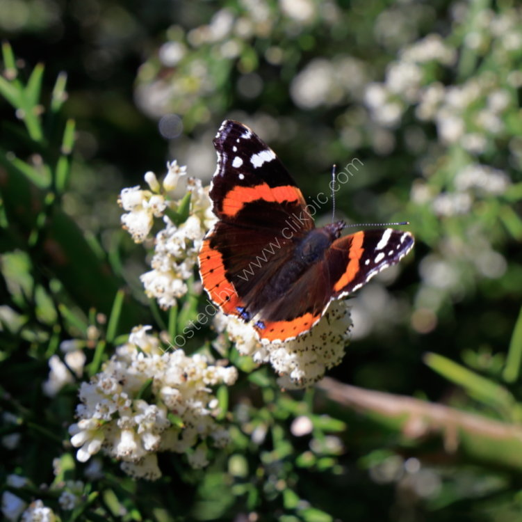 Red Admiral butterfly in Golden Acre
